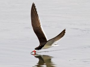 Black Skimmer by Dave Woeller